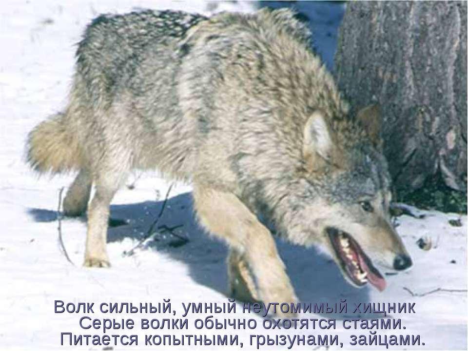 Волк сильный, умный неутомимый хищник Серые волки обычно охотятся стаями. Пит...