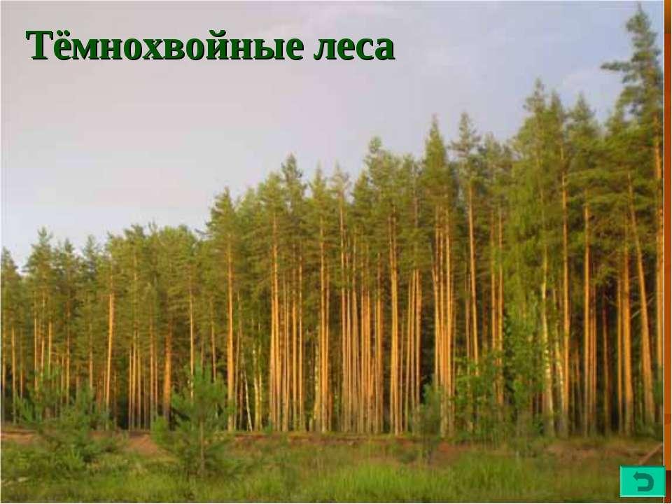 Тёмнохвойные леса