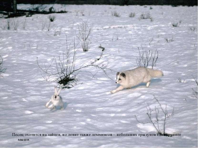 Песец охотится на зайцев, но ловит также леммингов – небольших грызунов едва ...