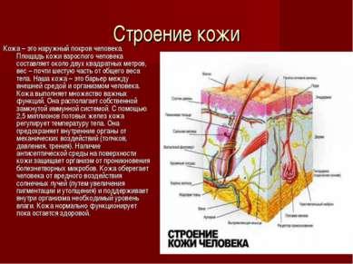 Строение кожи Кожа – это наружный покров человека. Площадь кожи взрослого чел...