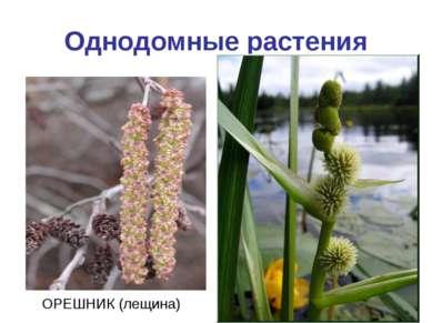 Однодомные растения ОРЕШНИК (лещина)