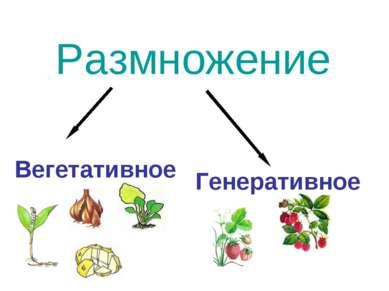 Размножение Вегетативное Генеративное