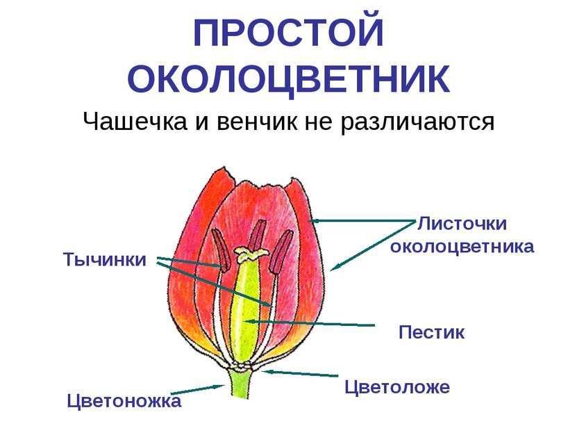 ПРОСТОЙ ОКОЛОЦВЕТНИК Чашечка и венчик не различаются Листочки околоцветника Т...