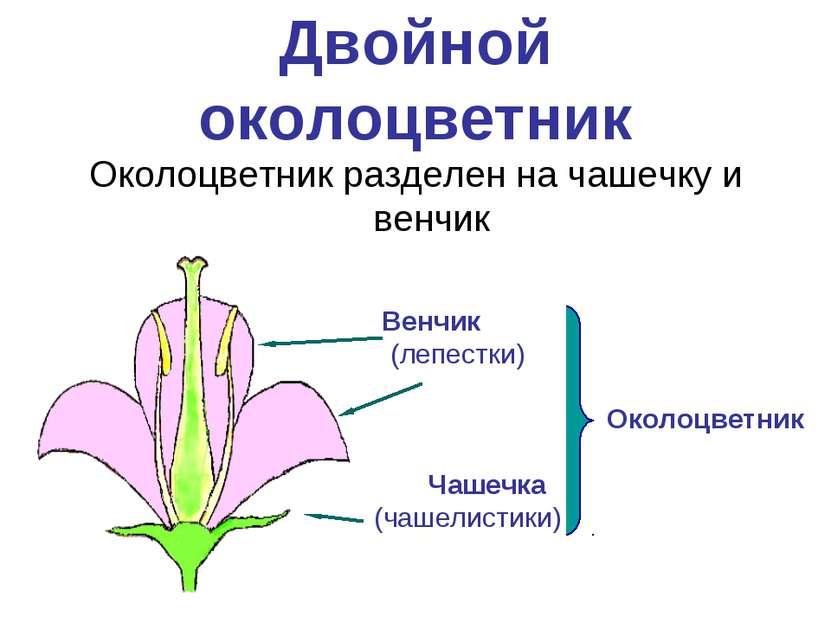 Двойной околоцветник Околоцветник разделен на чашечку и венчик Чашечка (чашел...