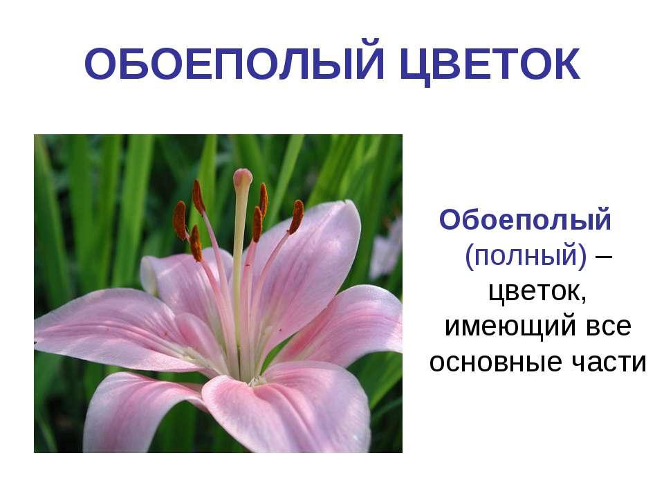 ОБОЕПОЛЫЙ ЦВЕТОК Обоеполый (полный) – цветок, имеющий все основные части
