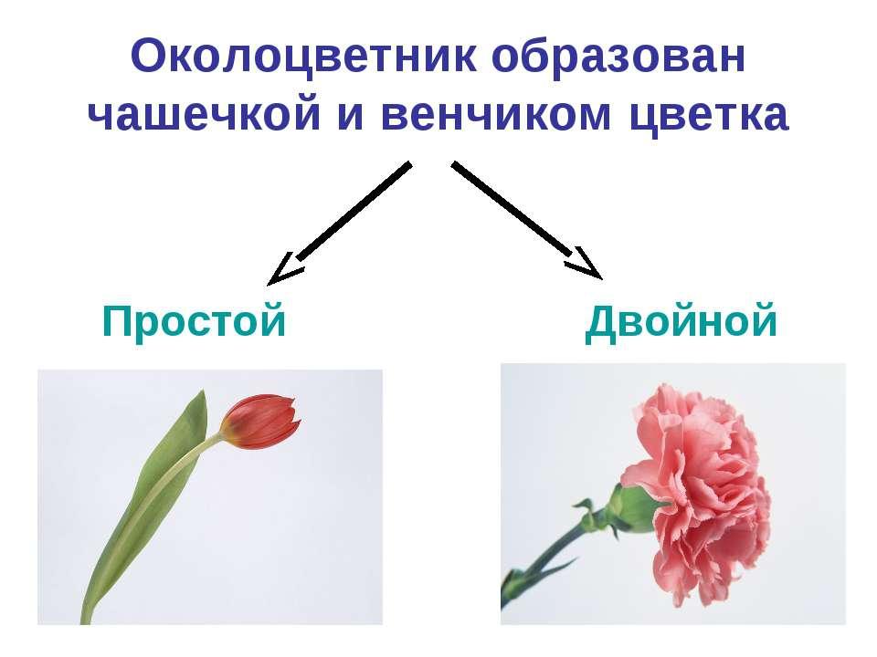Околоцветник образован чашечкой и венчиком цветка Простой Двойной