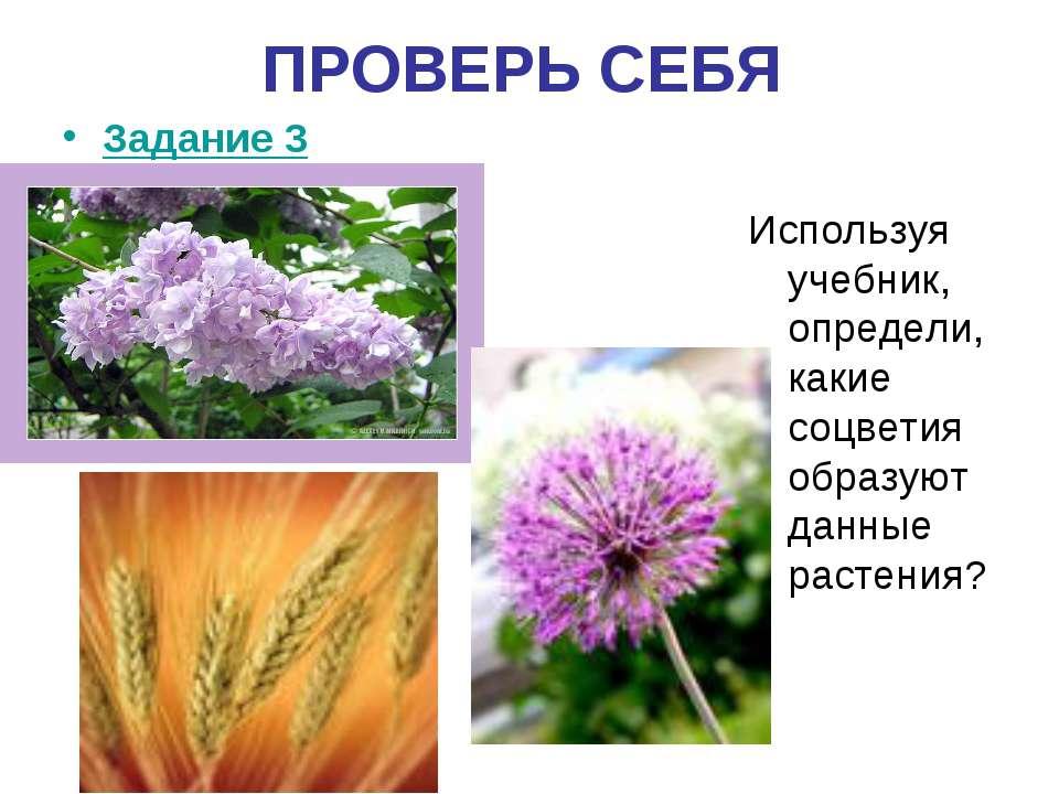 ПРОВЕРЬ СЕБЯ Задание 3 Используя учебник, определи, какие соцветия образуют д...