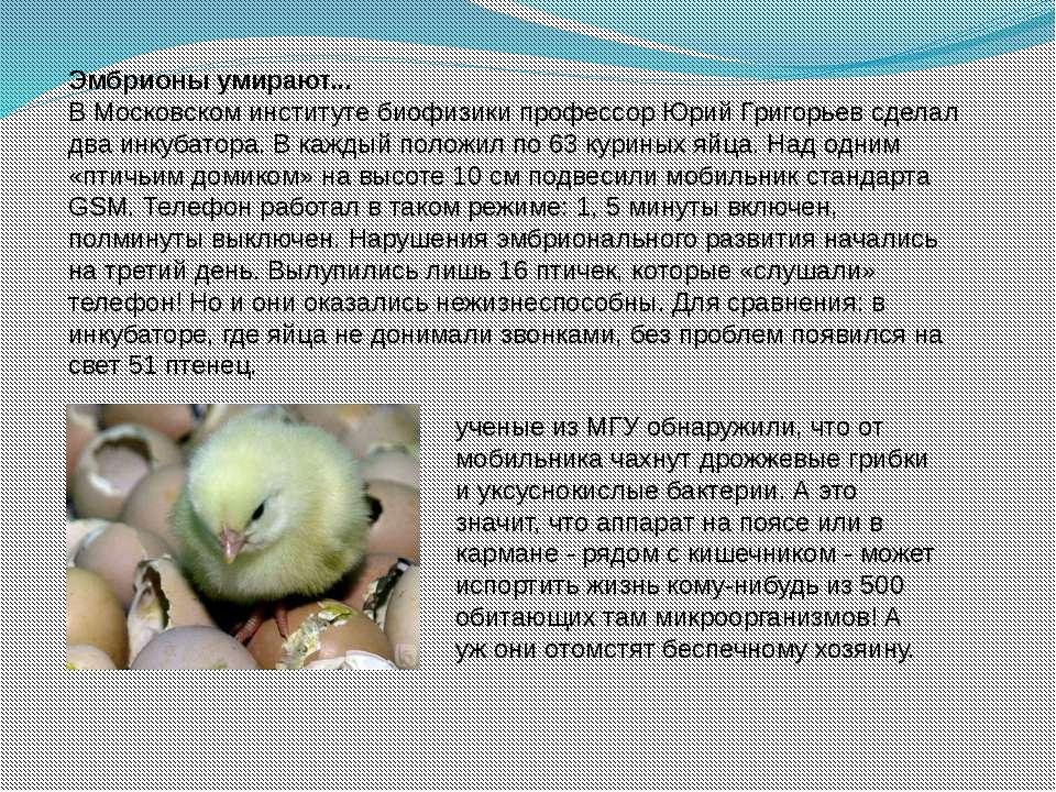 Эмбрионы умирают... В Московском институте биофизики профессор Юрий Григорьев...