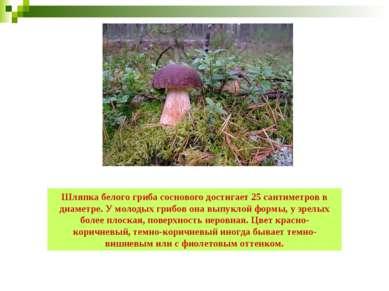 Шляпка белого гриба соснового достигает 25 сантиметров в диаметре. У молодых ...