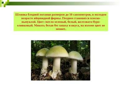 Шляпка бледной поганки размером до 10 сантиметров, в молодом возрасте яйцевид...