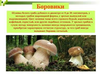 Шляпка белого гриба дубового в диаметре от 8 до 30 сантиметров, у молодых гри...