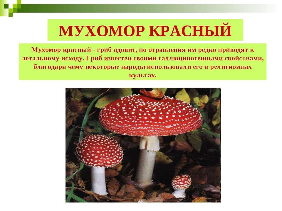 МУХОМОР КРАСНЫЙ Мухомор красный - гриб ядовит, но отравления им редко приводя...