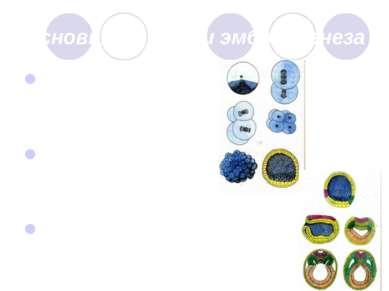 Основные стадии эмбриогенеза Стадия дробления Стадия гаструляции Стадия орган...