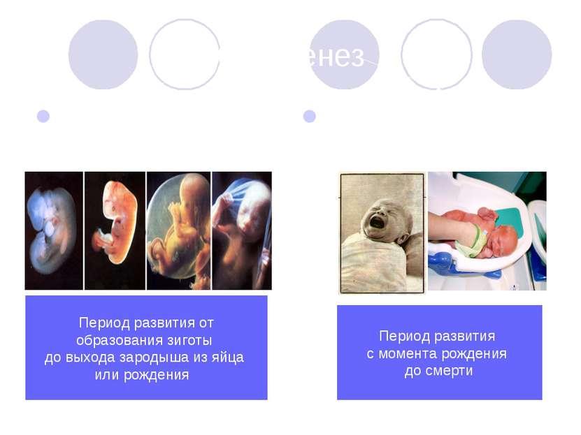 Онтогенез Эмбриональное развитие Постэмбриональное развитие Период развития о...