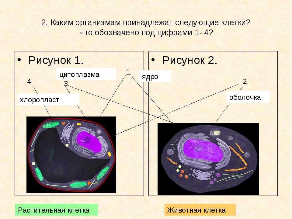 2. Каким организмам принадлежат следующие клетки? Что обозначено под цифрами ...