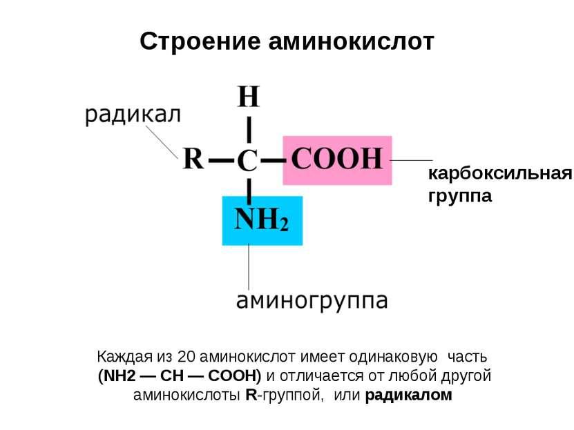 Строение аминокислот карбоксильная группа Каждая из 20 аминокислот имеет один...