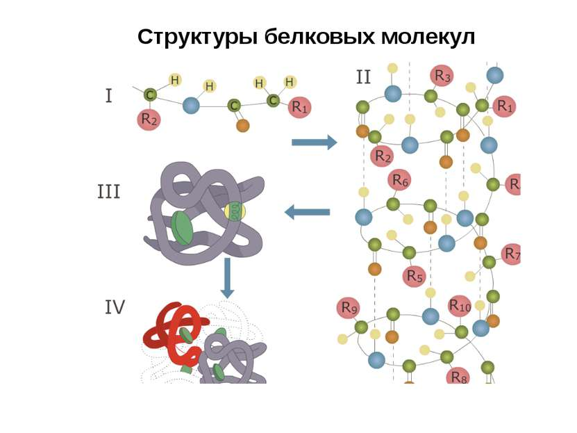 Структуры белковых молекул