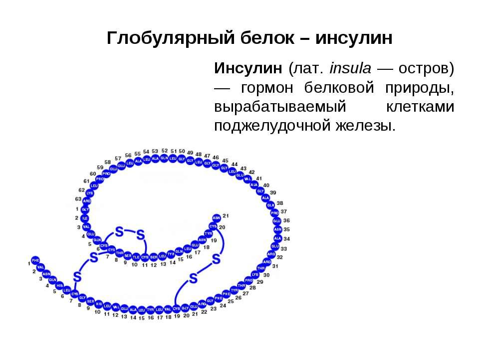 Глобулярный белок – инсулин Инсулин (лат. insula — остров) — гормон белковой ...