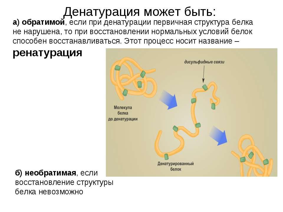 Денатурация может быть: а) обратимой, если при денатурации первичная структур...