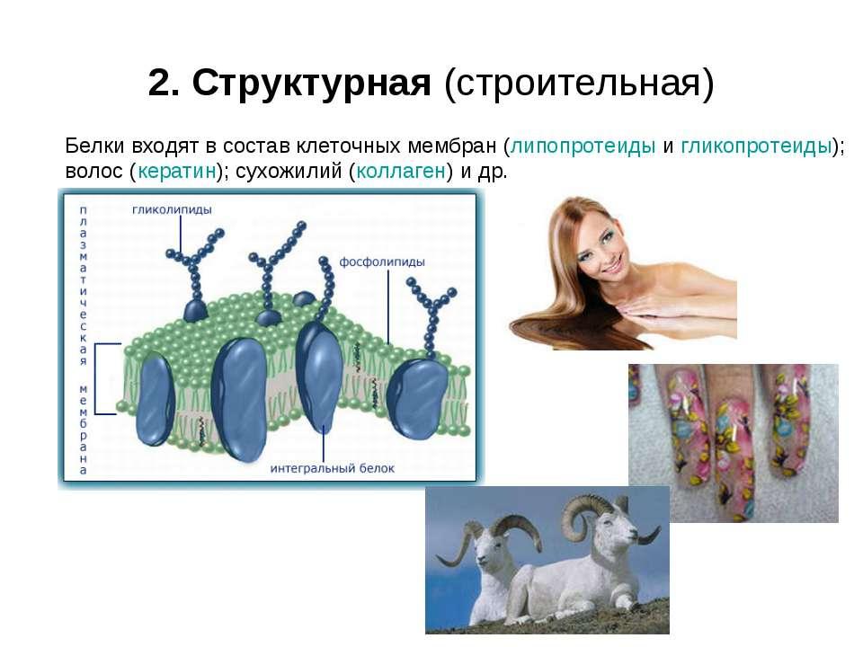 2. Структурная (строительная) Белки входят в состав клеточных мембран (липопр...