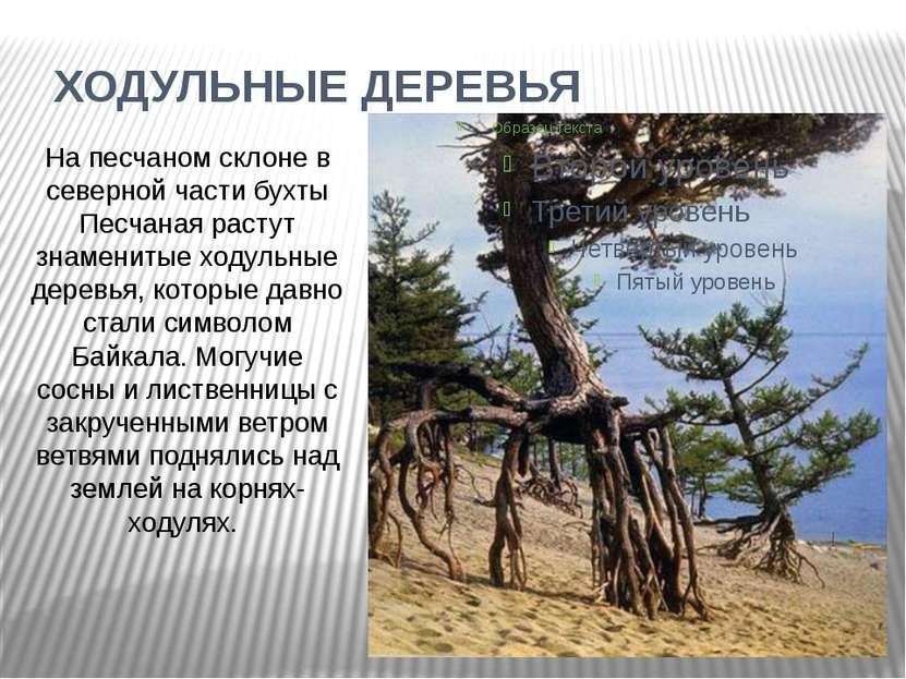ХОДУЛЬНЫЕ ДЕРЕВЬЯ На песчаном склоне в северной части бухты Песчаная растут з...