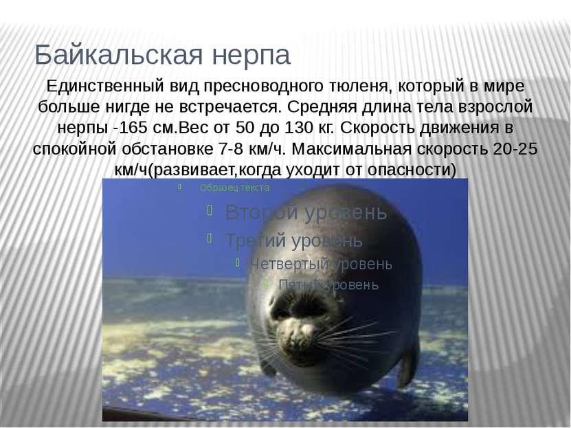 Байкальская нерпа Единственный вид пресноводного тюленя, который в мире больш...
