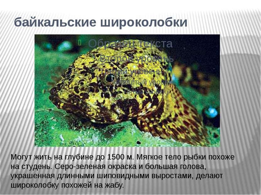 байкальские широколобки Могут жить на глубине до 1500 м. Мягкое тело рыбки по...