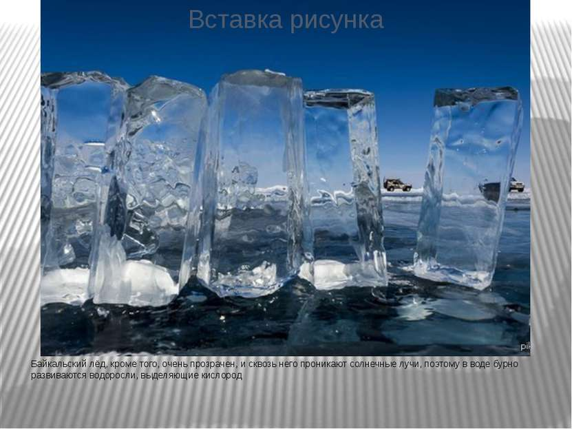 Байкальский лёд, кроме того, очень прозрачен, и сквозь него проникают солнечн...