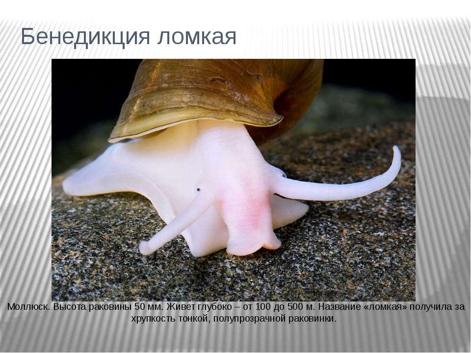 Бенедикция ломкая Моллюск. Высота раковины 50 мм. Живет глубоко – от 100 до 5...