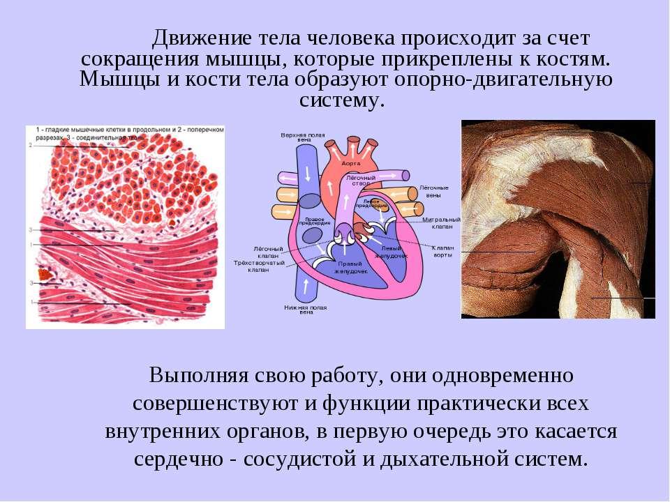 Движение тела человека происходит за счет сокращения мышцы, которые прикрепле...