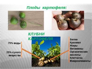 Плоды картофеля: