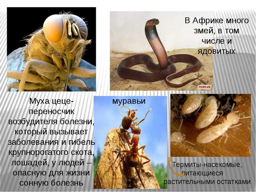 Муха цеце-переносчик возбудителя болезни, который вызывает заболевания и гибе...