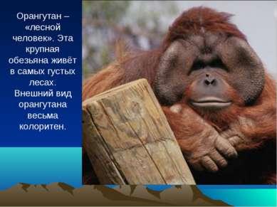 Орангутан – «лесной человек». Эта крупная обезьяна живёт в самых густых лесах...