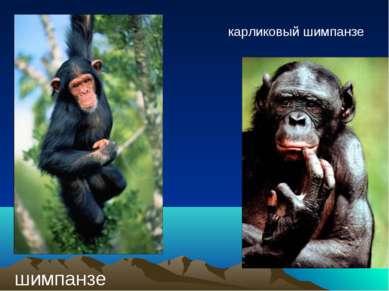 шимпанзе карликовый шимпанзе