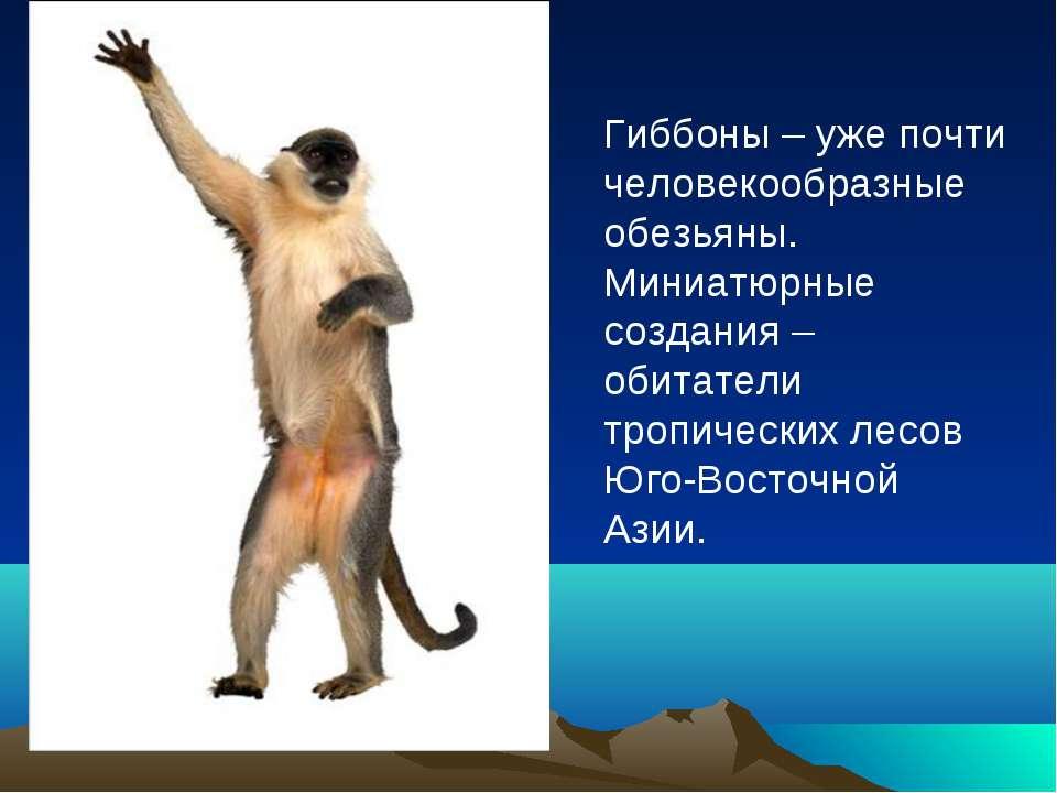 Гиббоны – уже почти человекообразные обезьяны. Миниатюрные создания – обитате...