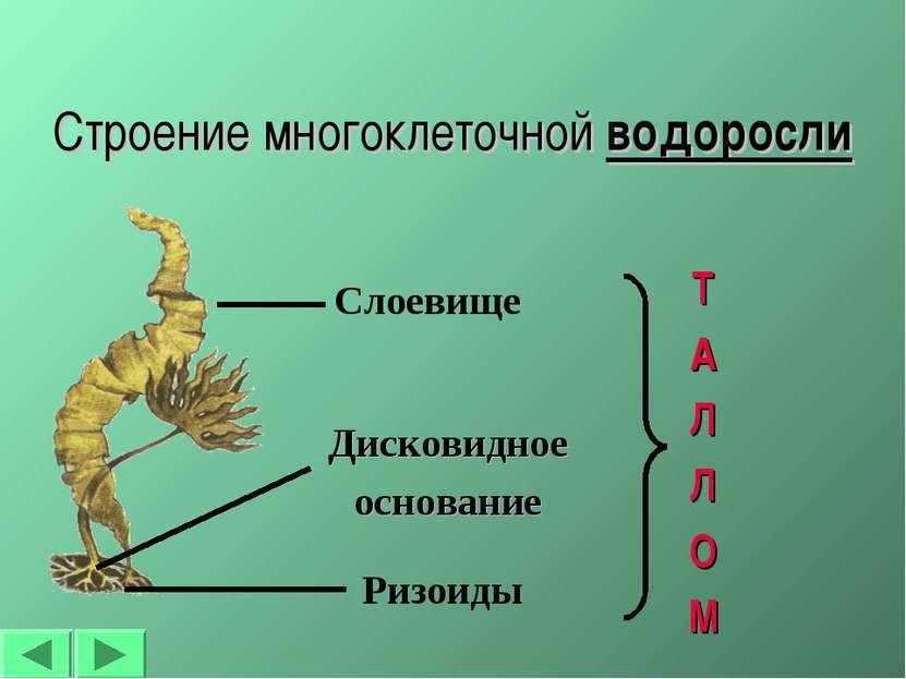 Строение многоклеточной водоросли Ризоиды Слоевище Дисковидное основание Т А ...