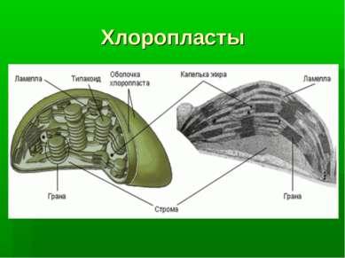 Хлоропласты Хлоропласты (от греч. chlorós — зелёный и plastós — вылепленный, ...