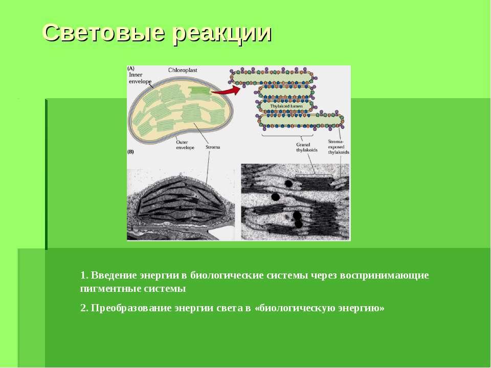Световые реакции 1. Введение энергии в биологические системы через воспринима...