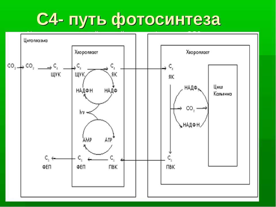 С4- путь фотосинтеза У некоторых растений первый продукт фиксации СО2 - не тр...