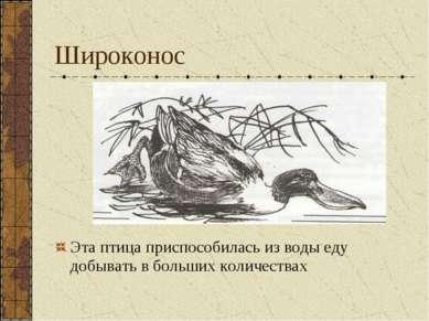 Широконос Эта птица приспособилась из воды еду добывать в больших количествах