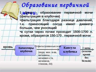 Образование первичной мочи. 1 фаза - образование первичной мочи (фильтрация в...