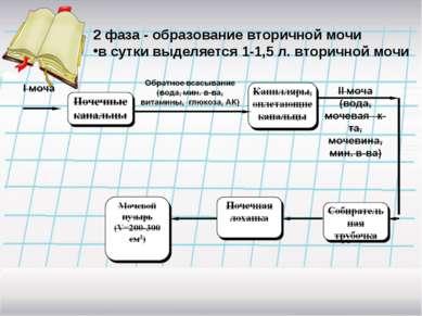 2 фаза - образование вторичной мочи в сутки выделяется 1-1,5 л. вторичной мочи