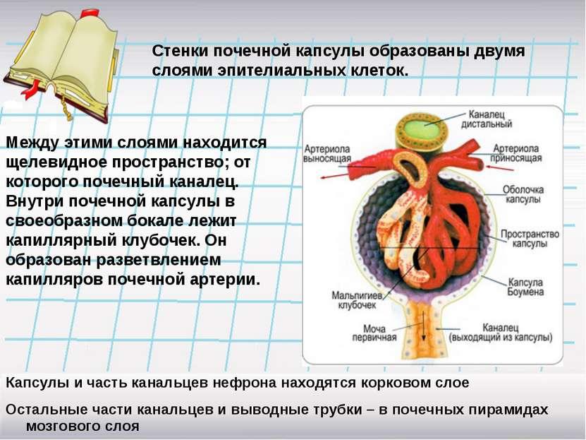 Стенки почечной капсулы образованы двумя слоями эпителиальных клеток. Между э...