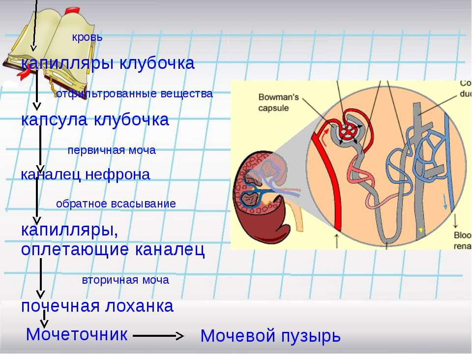 кровь капилляры клубочка отфильтрованные вещества капсула клубочка первичная ...