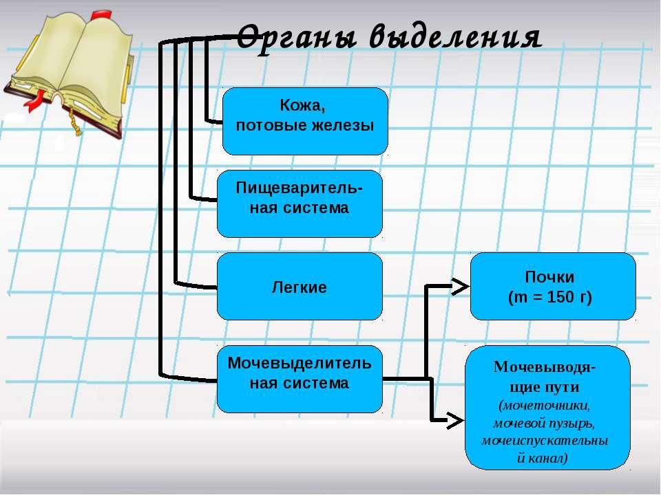 Органы выделения Почки (m = 150 г) Мочевыводя-щие пути (мочеточники, мочевой ...