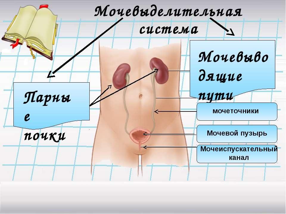 Мочевыделительная система Парные почки Мочевыводящие пути мочеточники Мочевой...