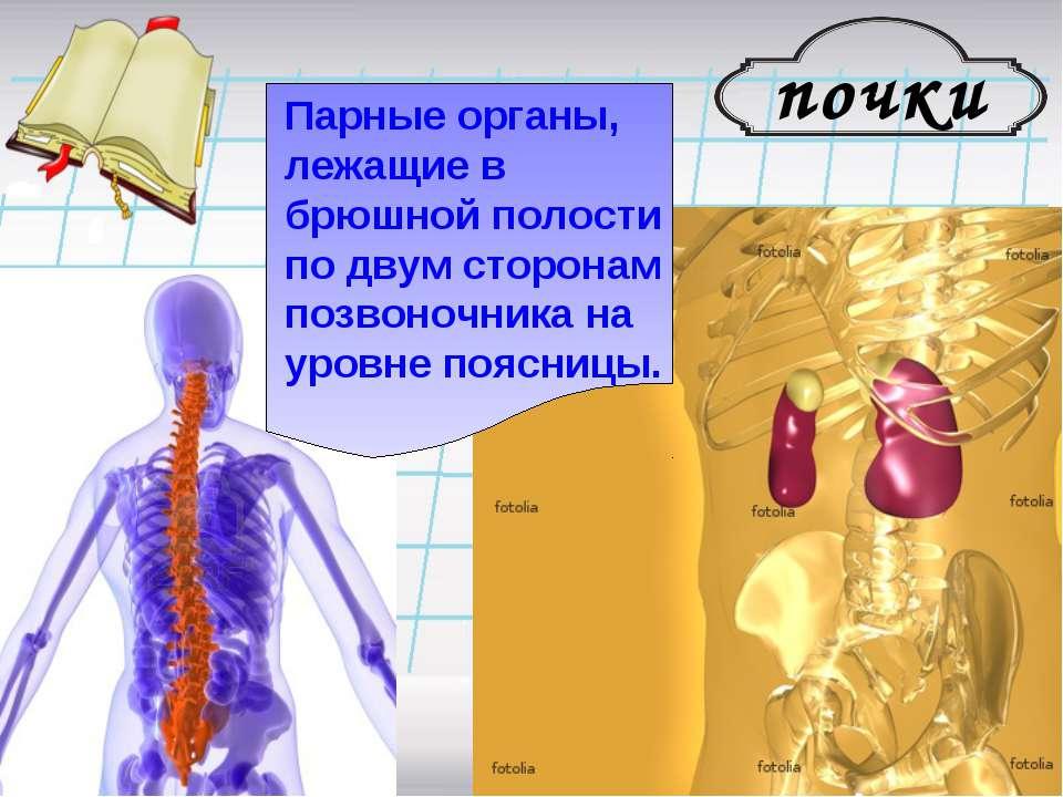 почки Парные органы, лежащие в брюшной полости по двум сторонам позвоночника ...