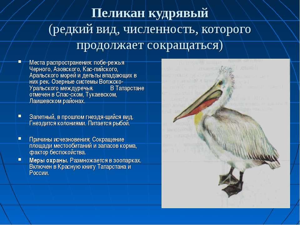 Пеликан кудрявый (редкий вид, численность, которого продолжает сокращаться) М...