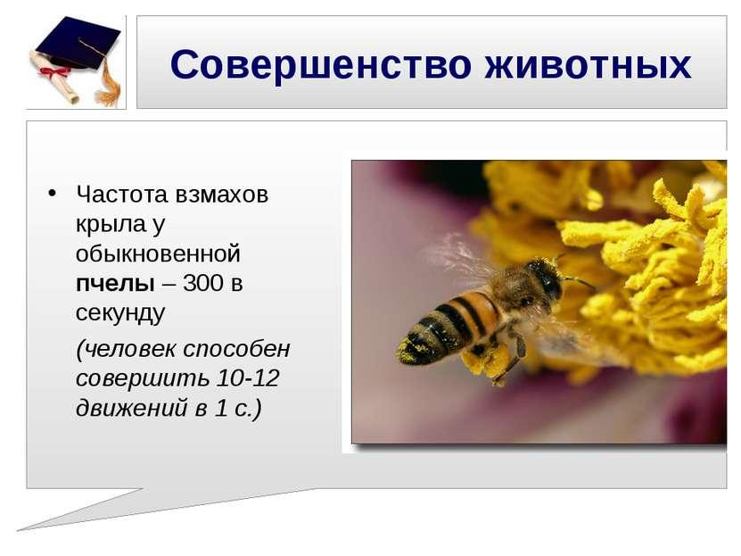 Совершенство животных Частота взмахов крыла у обыкновенной пчелы – 300 в секу...