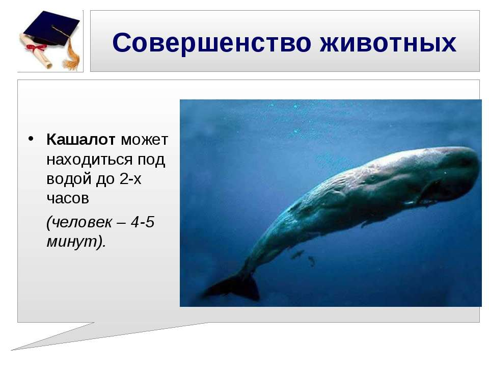 Совершенство животных Кашалот может находиться под водой до 2-х часов (челове...